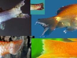 Плавниковая гниль рыб аквариумных
