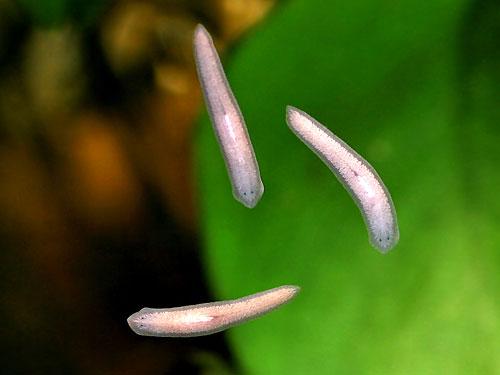 белые черви в аквариуме на стекле