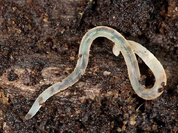 Гриндальский червь