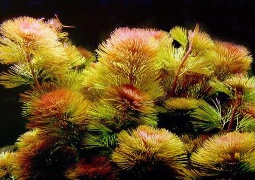 Фурката, красная или вильчатая (C.Furcata)