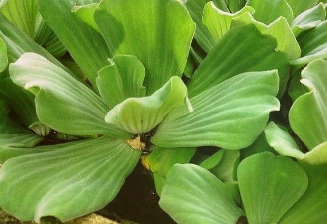 Сорт водяной капусты гофрированной (Ruffles)