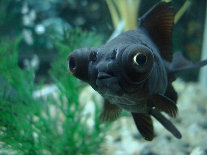 Пучеглазие или экзофтальмия у рыб