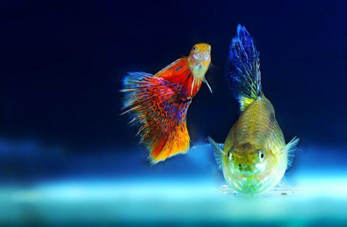 В принципе, любую рыбку можно сделать неприхотливой